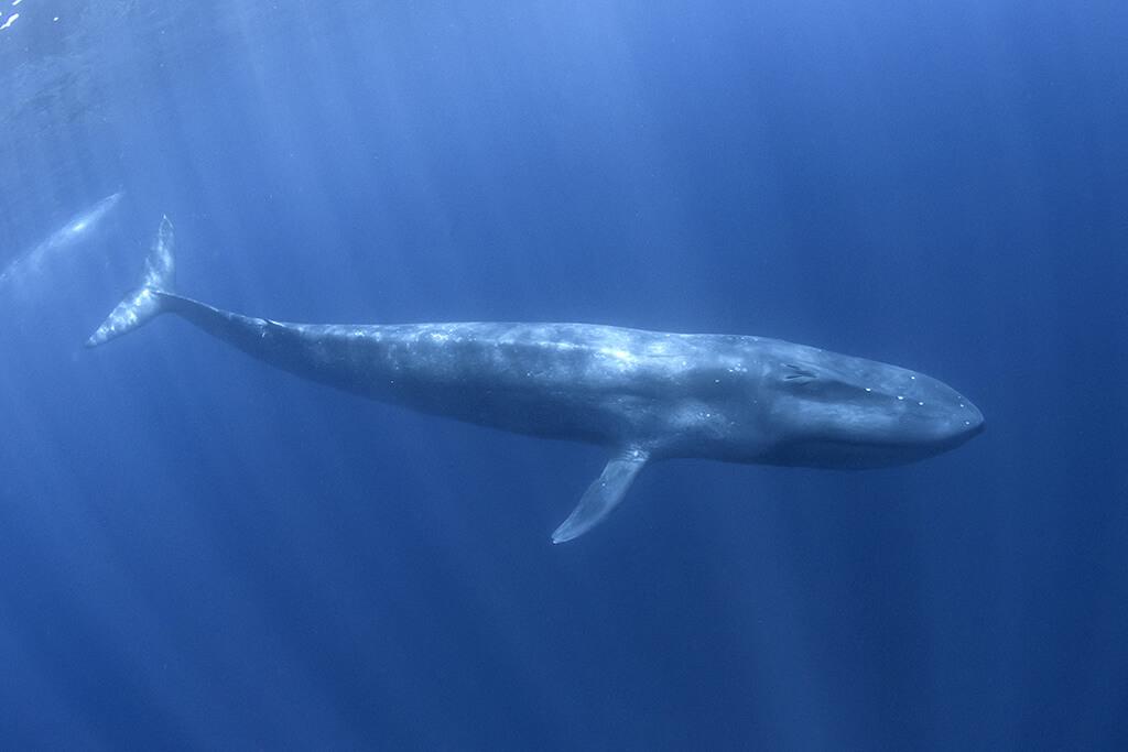 blue whale diving underwater around Trincomalee in Sri Lanka