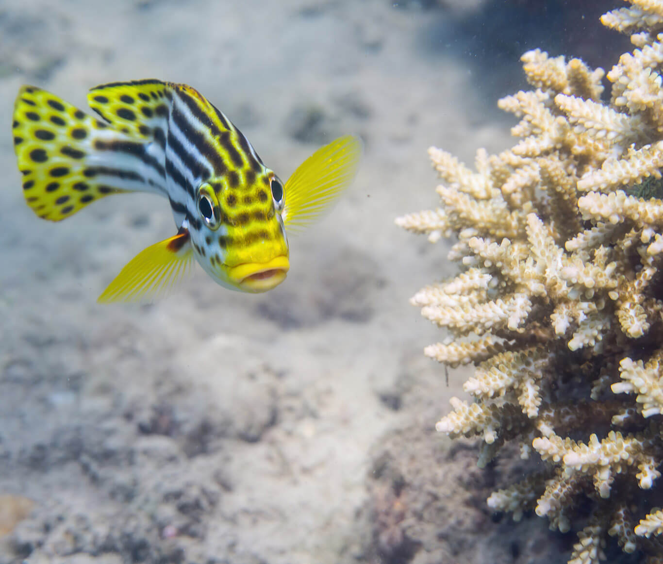 What kind of marine life I can see during a dive in Sri Lanka? Discover tropical fish while scuba diving with Divinguru in Unawatuna