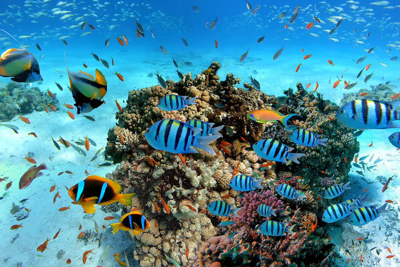 tropical fish swimming in shallow water with clear underwater visibility in Sri Lanka