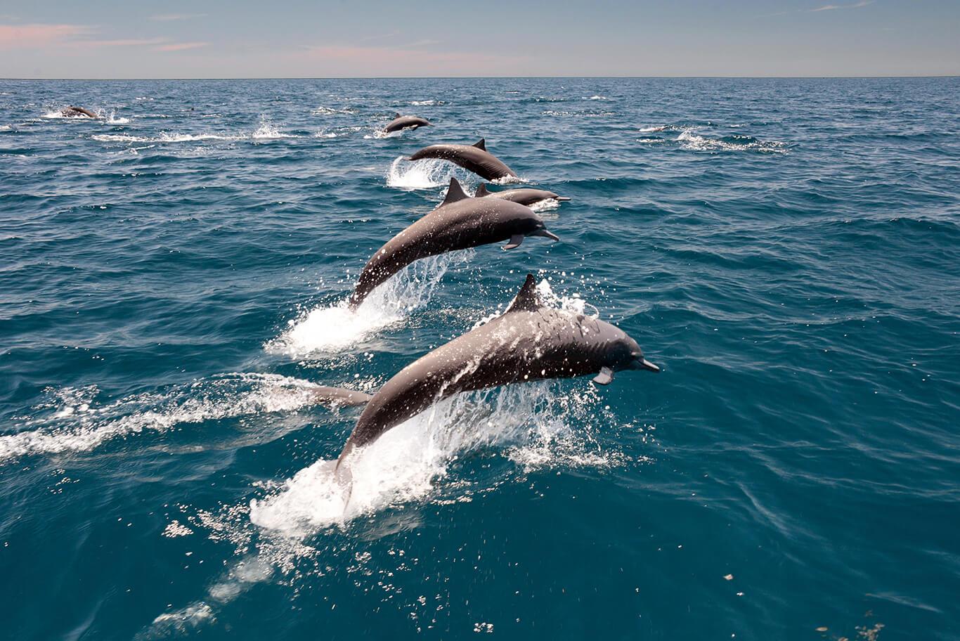 spinner dolphins in Nilaveli Sri Lanka